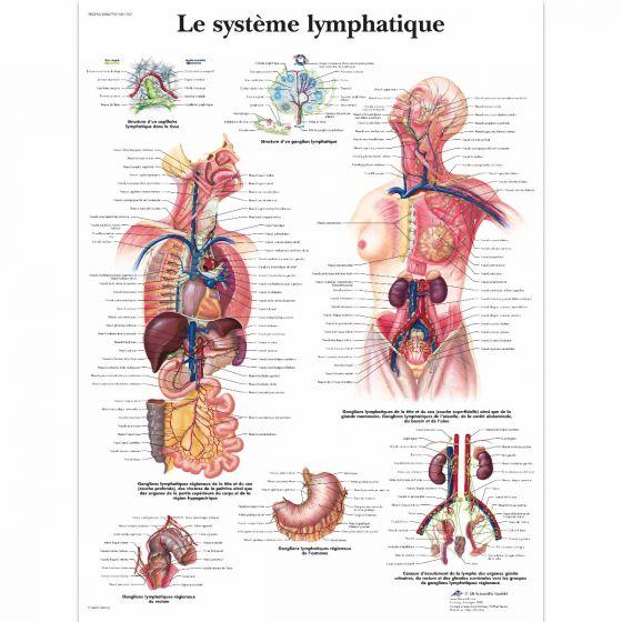 Sistema linfático VR2392L